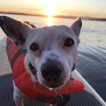 Moses the dog of Washington Bike Law is on a paddle board on water with sunset behind him. Moses is wearing a doggie life vest.